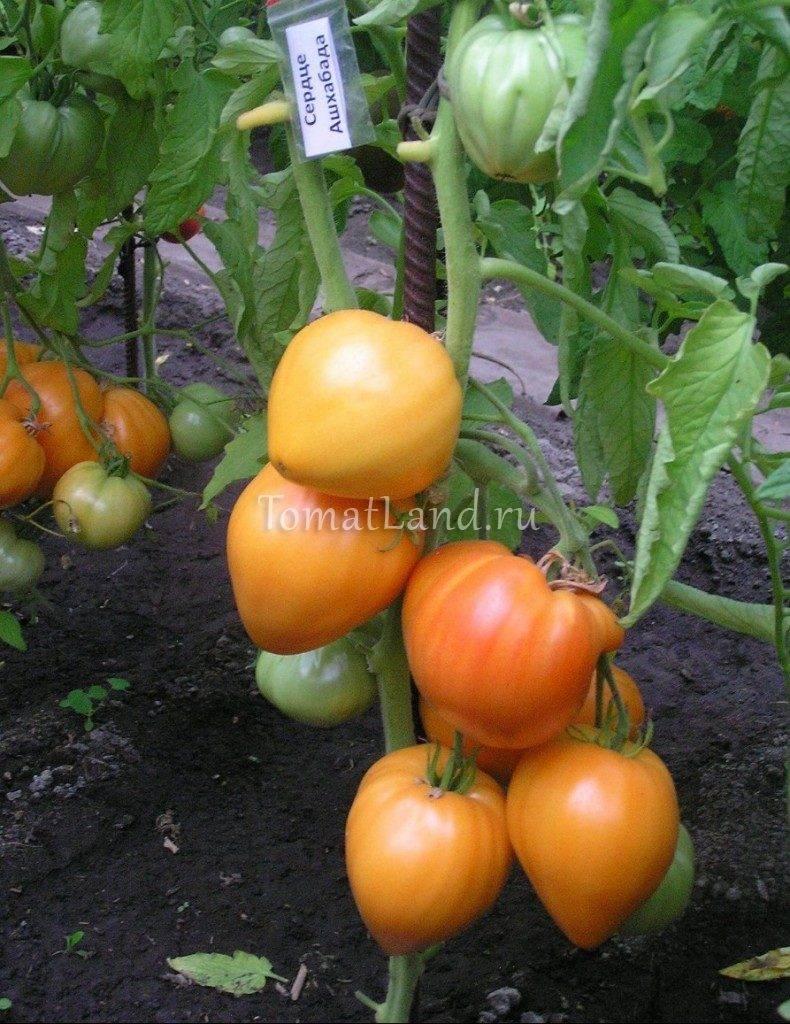 """ᐉ томат """"сердце ашхабада"""": описание сорта, характеристики плодов-помидор, рекомендации по уходу и выращиванию - orensad198.ru"""