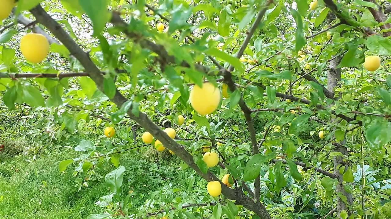 Китайский сорт сливы «желтая хопты» рекомендован для выращивания в суровом климате