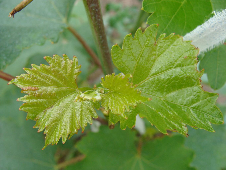 Хлороз винограда: причины пожелтения листьев и средства для их лечения (железный купорос, хелат железа)