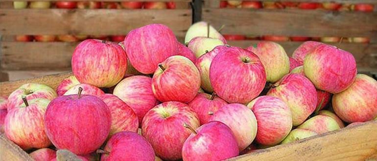 Яблоня штрифель: описание, фото, руководство по выращиванию