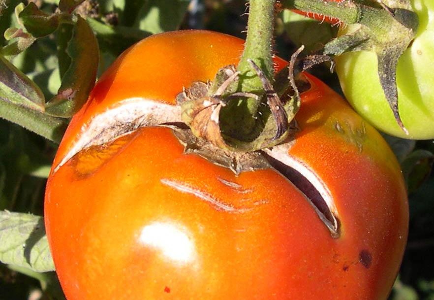 Почему трескаются помидоры в теплице: узнайте за 5 минут