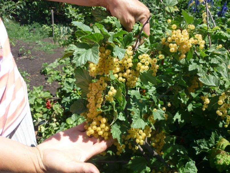 Смородина белая версальская: описание сорта красной смородины, выращивание - посадка и уход