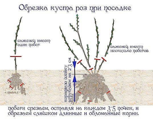 Роза плетистая: выращивание и уход в открытом грунте. | растюнька