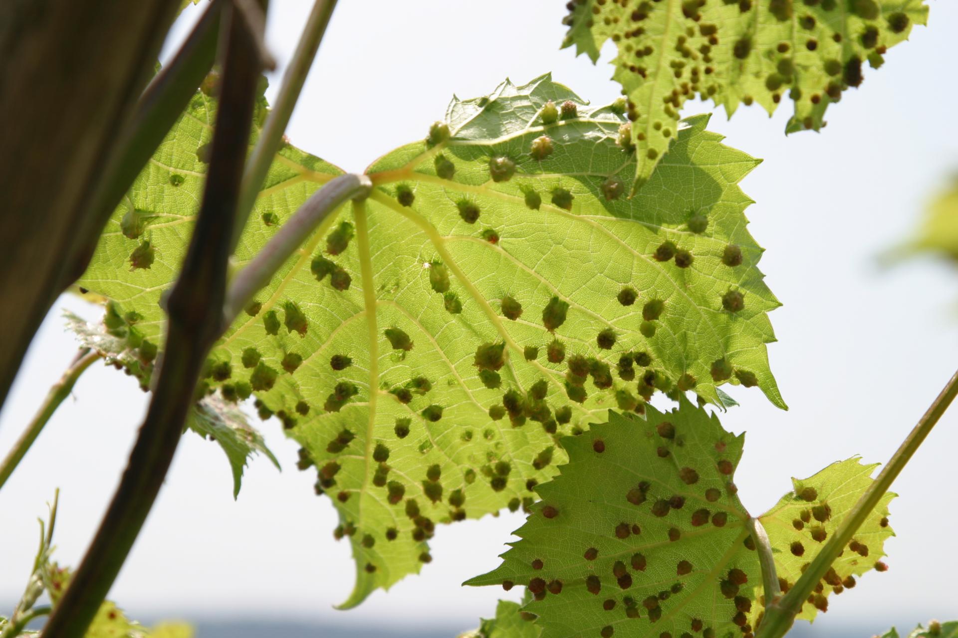 Филлоксера или виноградная тля – опасный вредитель винограда