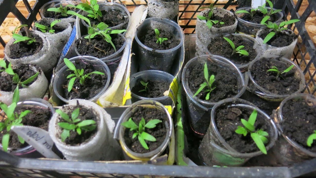 Рассада помидоров в пеленках: как посадить