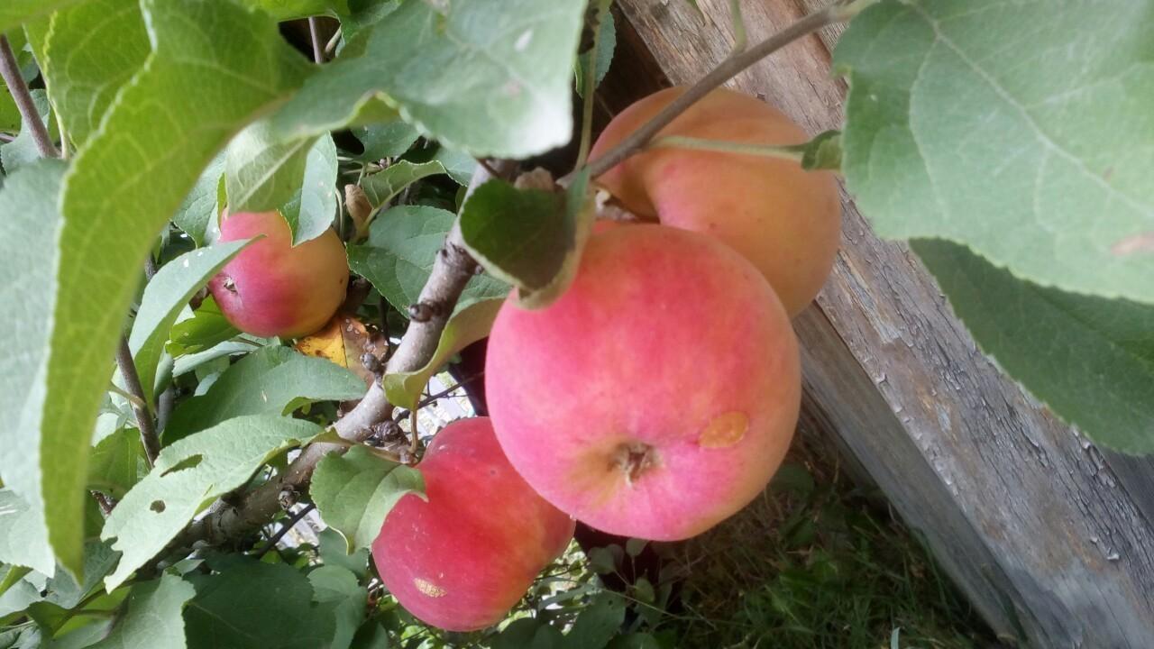 Описание сорта яблон серебряное копытце: фото, отзывы и посадка