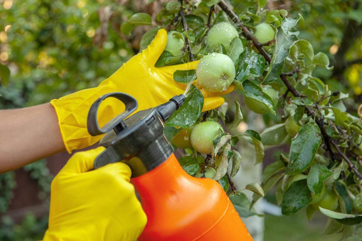 Цветоед на яблоне - методы борьбы