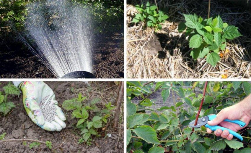Ежевика бесшипная: описание, сорта, выращивание и уход, фото