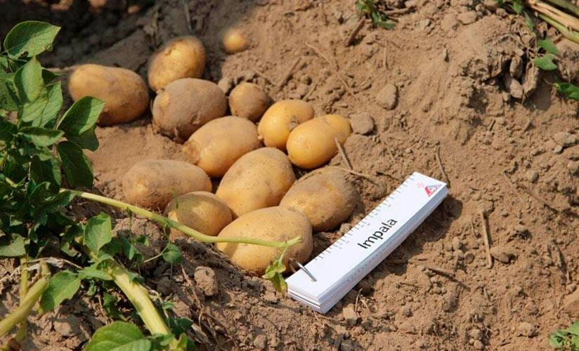Идеальный сорт картофеля для закупки на зиму: «джелли»