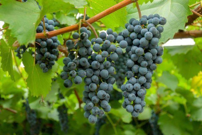Виноград тайфи – один из лучших столовых сортов винограда позднего созревания