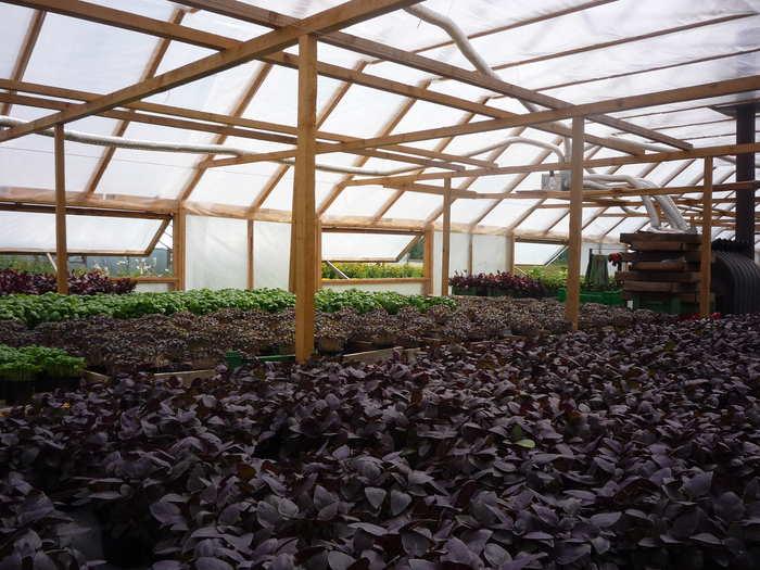 Выращивание базилика в теплице из поликарбоната или стекла: схема посадки, уход, и когда сажать, можно ли рядом с огурцами на одной грядке, как вырастить на продажу?