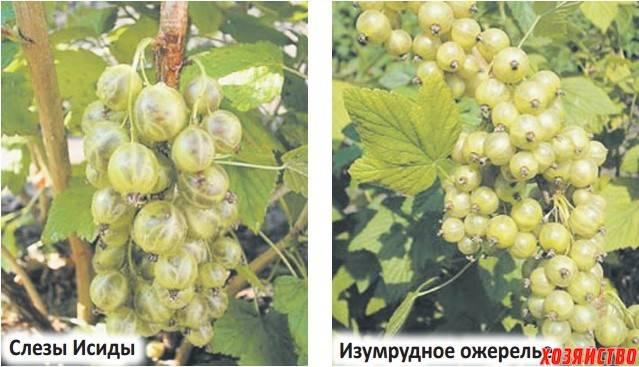 Описание и характеристики смородины сорта зеленая дымка, посадка и уход