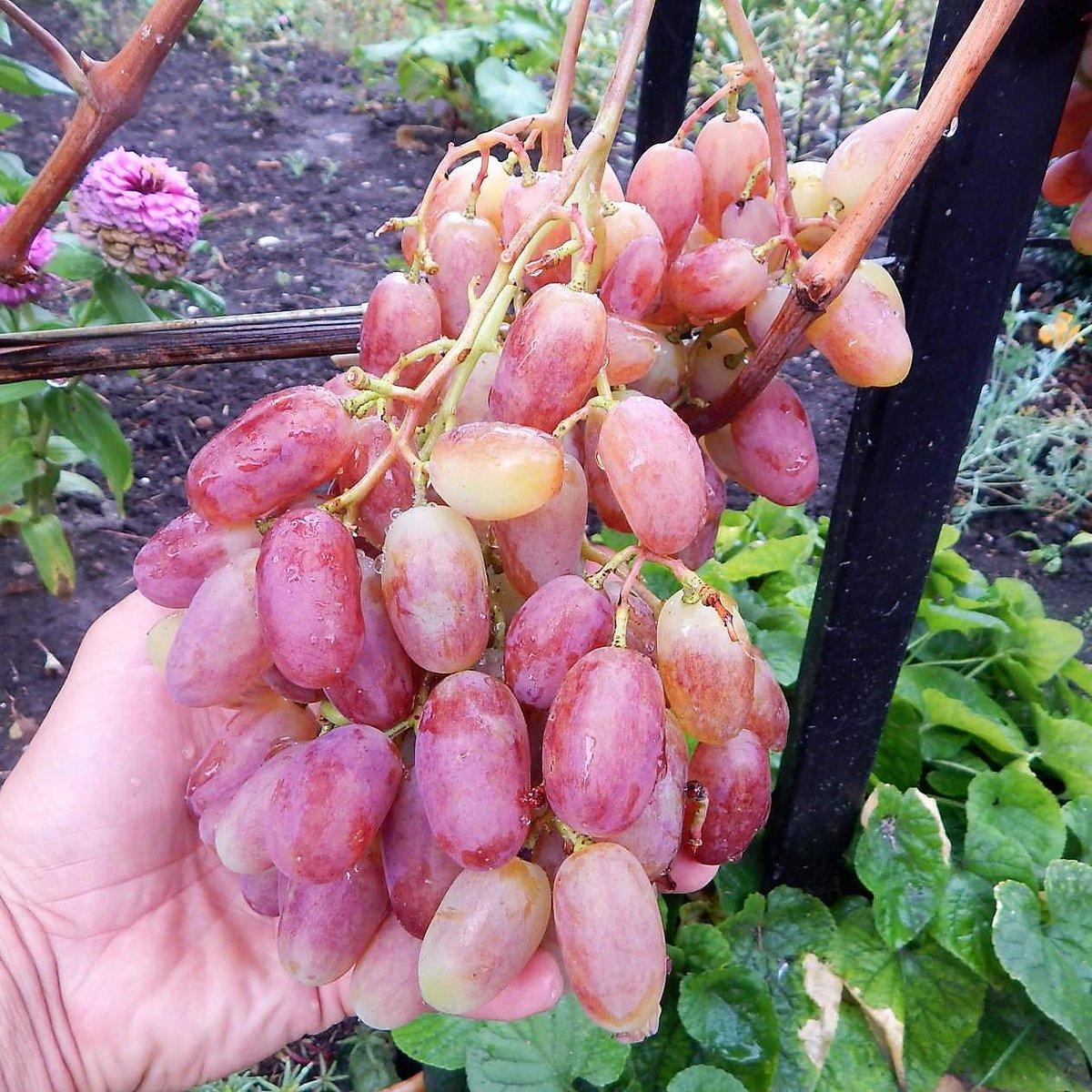 Виноград рубиновый юбилей: описание, основные характеристики