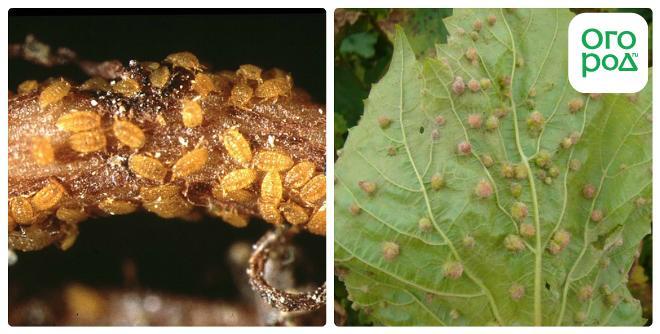 Меры борьбы с филлоксерой на винограде и профилактика, устойчивые к вредителю сорта