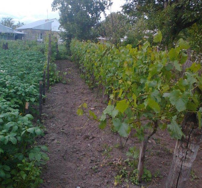 Описание винограда бианка, характеристики сорта и особенности выращивания и ухода