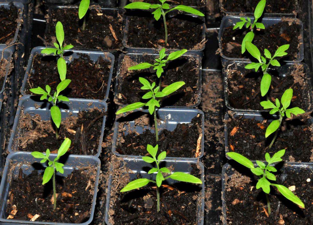 Как вырастить рассаду томатов без пикировки