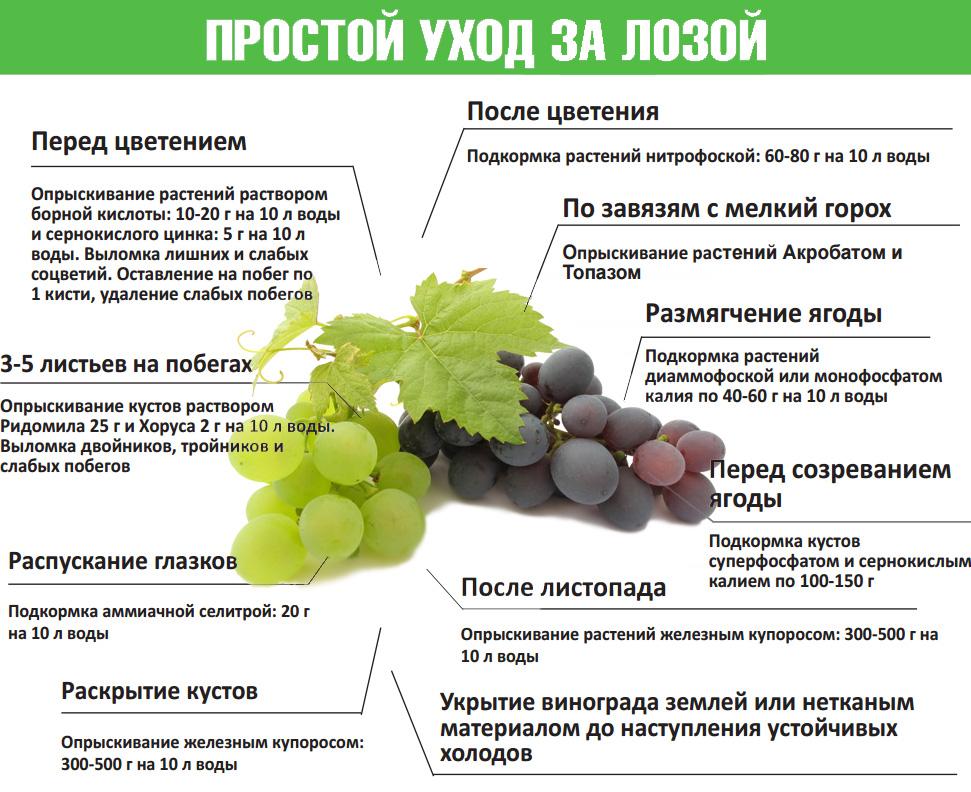 Характеристика сорта винограда сенсация