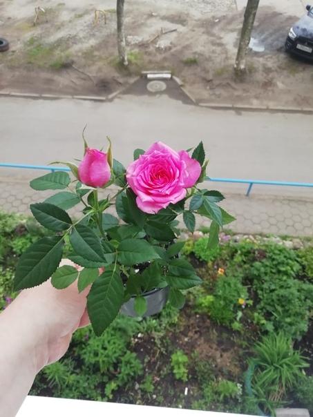 Роза кордана микс - уход в домашних условиях после магазина и можно ли высаживать в открытый грунт (фото)