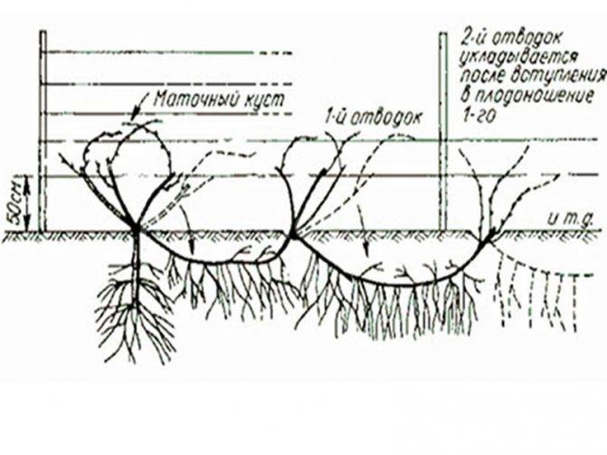 На какой год плодоносит виноград после посадки и от чего зависит срок
