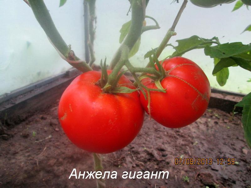 Томат гигант напы: описание сорта, отзывы, фото, урожайность   tomatland.ru
