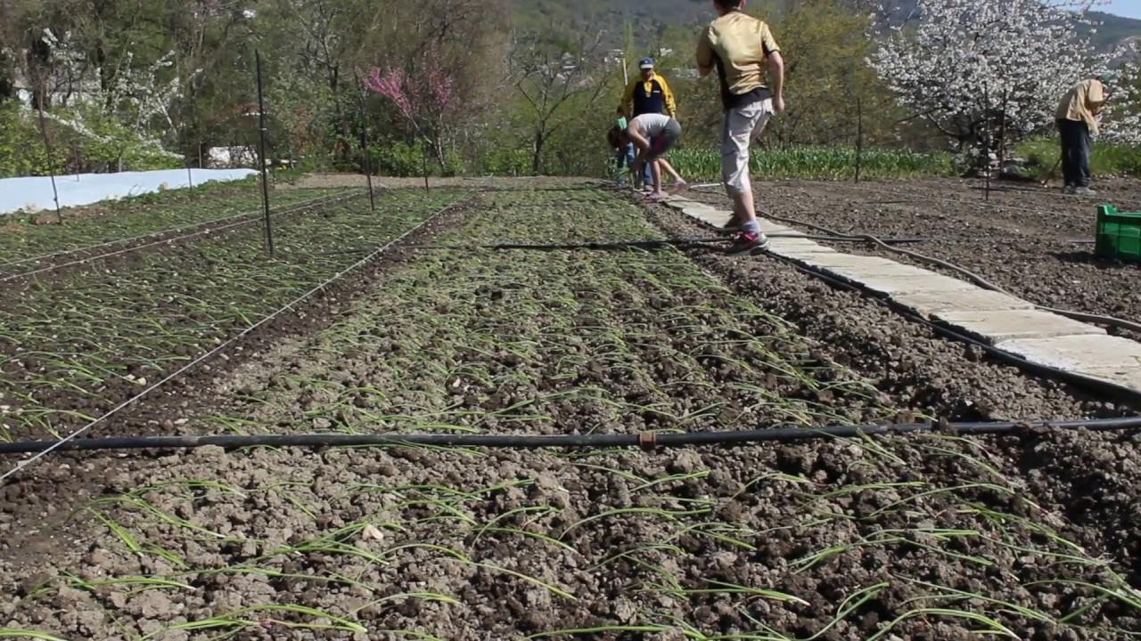Ялтинский лук - полезные свойства, выращивание, рецепты