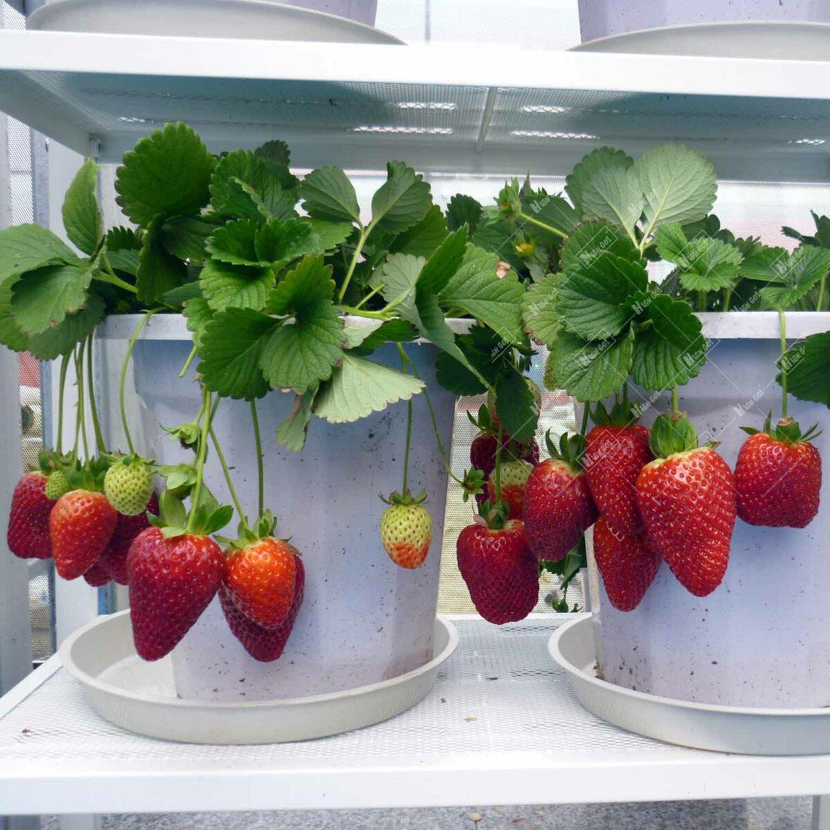 Ремонтантная земляника: выращивание и уход в домашних условиях