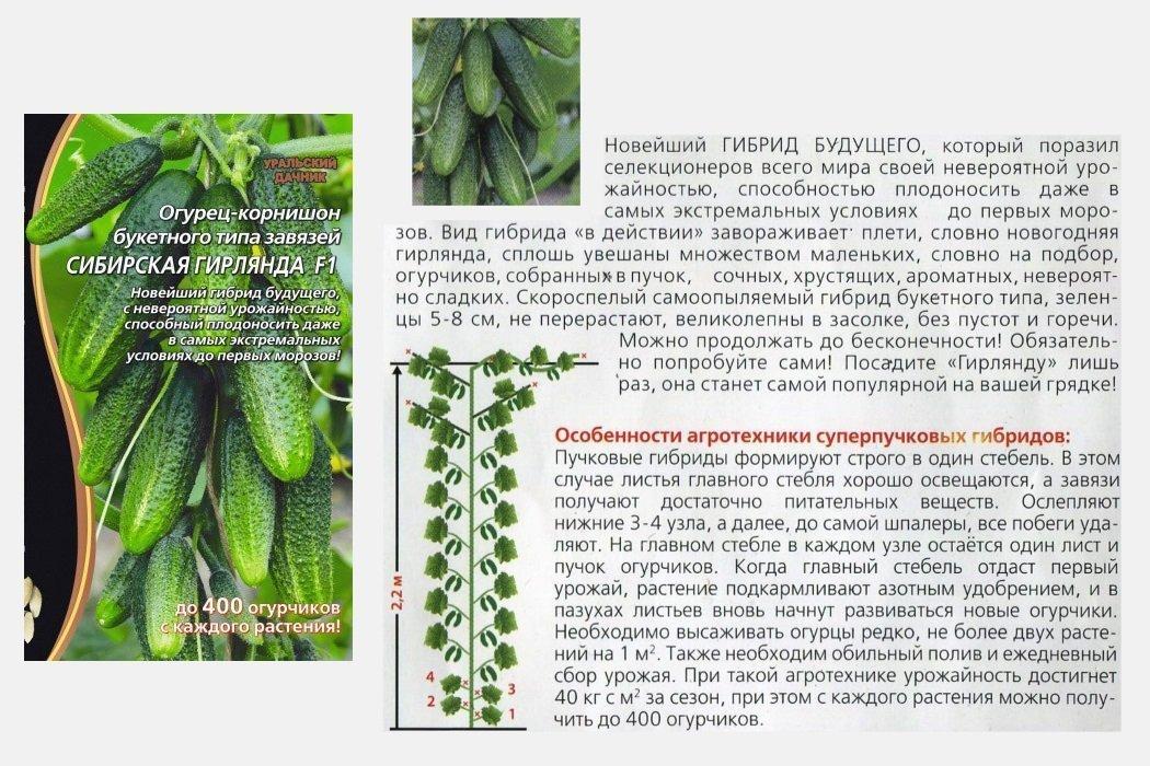 Лучшие гибриды суперпучковых и пучковых огурцов — ботаничка.ru
