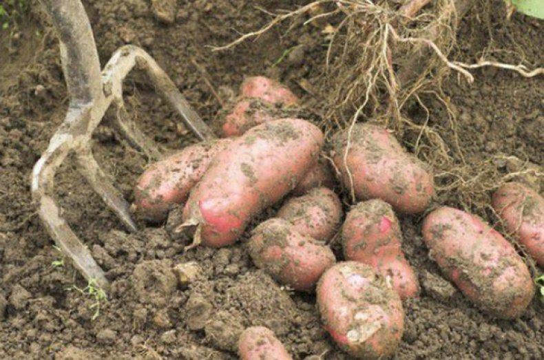 Когда сажать картофель в 2021 году: сроки посадки, выращивание и уход