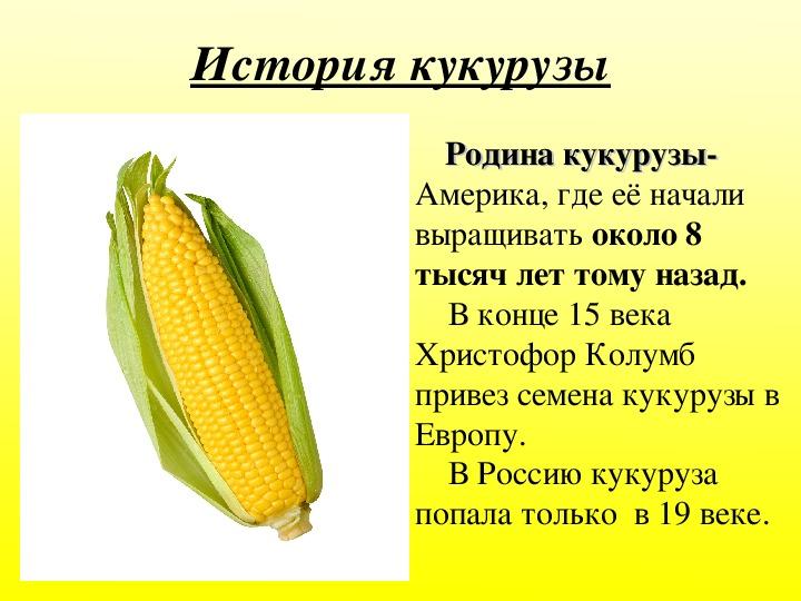 Кукуруза: описание растения, виды и польза
