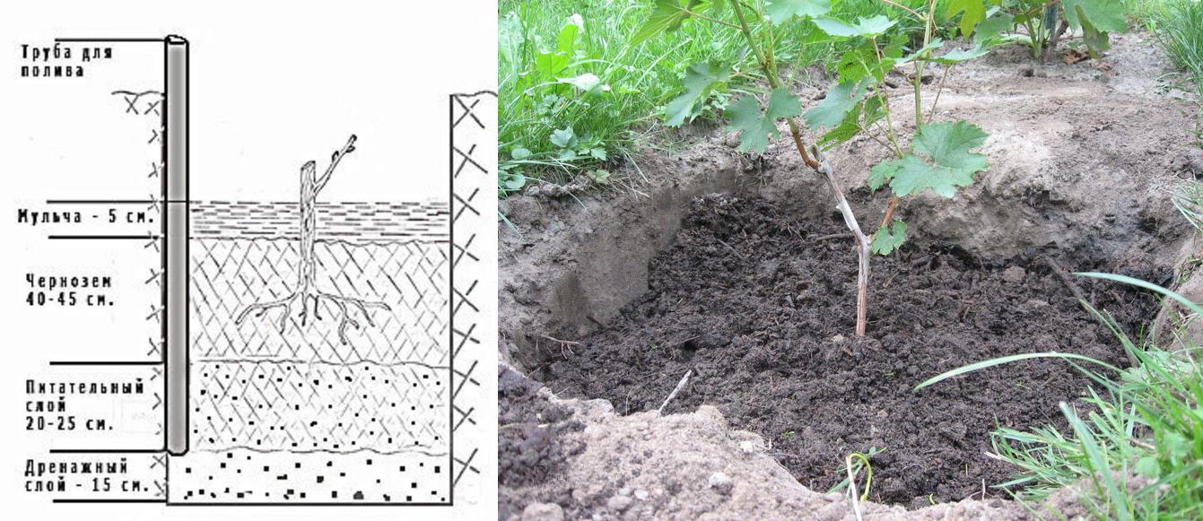Посадка винограда саженцами: фото и видео посадки весной и осенью, подготовка к посадке винограда