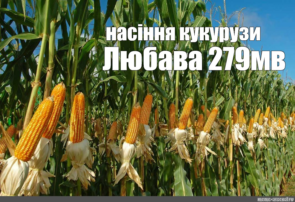 Посадка кукурузы в сибири в открытый грунт семенами: как ухаживать и выращивать
