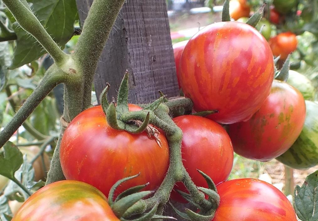 Томат десерт: отзывы об урожайности сорта, фото помидоров, описание и характеристика куста