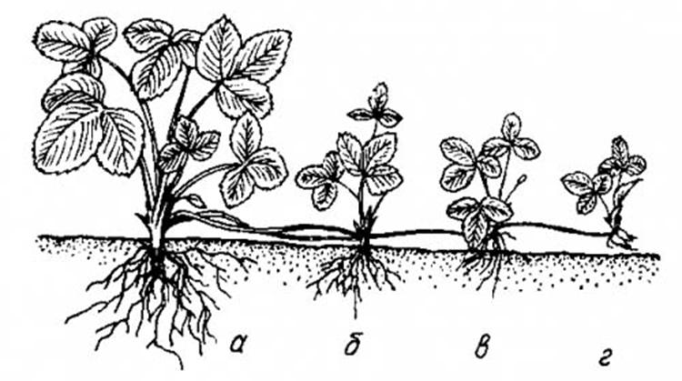 Почему не цветет клубника, а дает усы: 6 распространенных причин