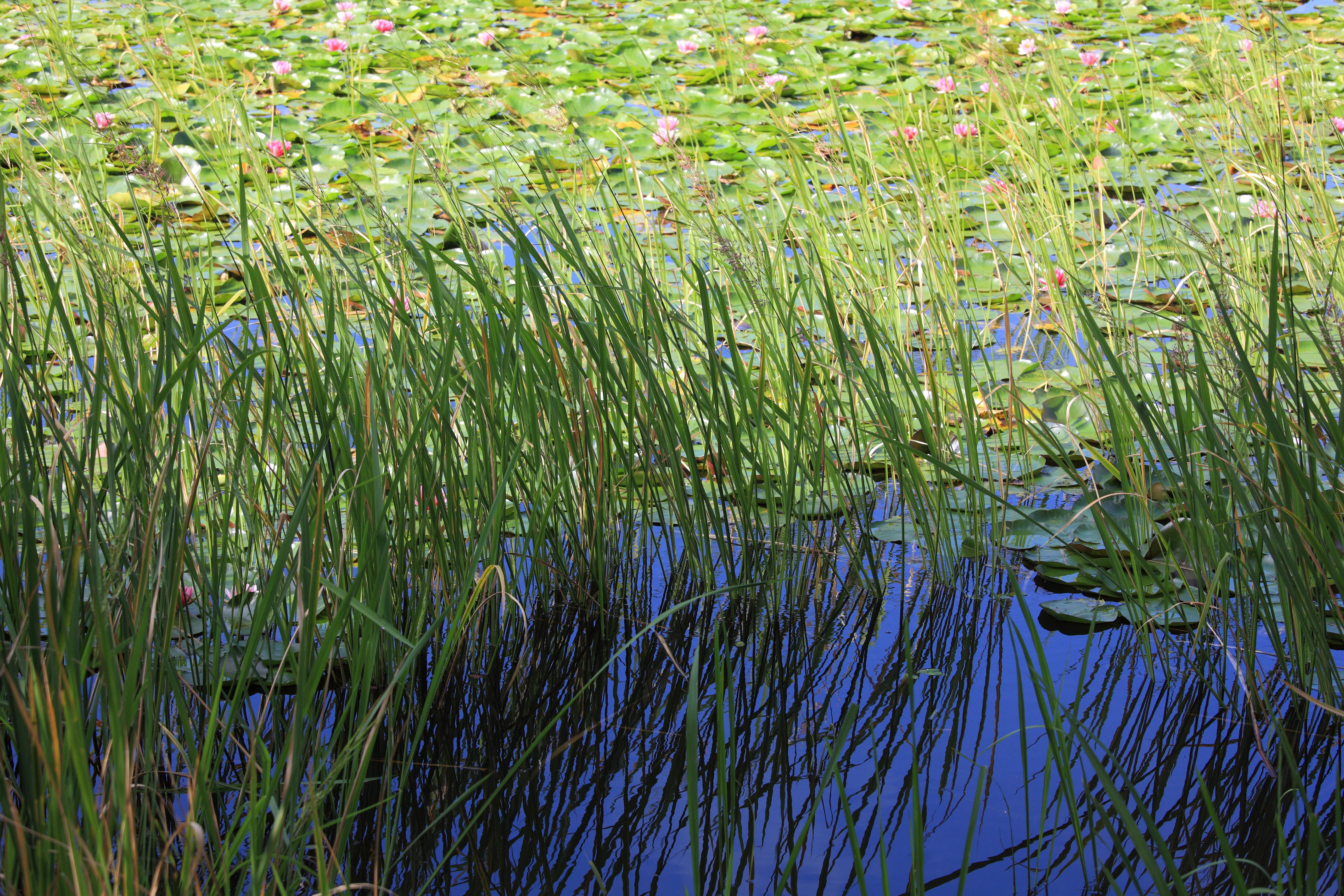 Камышовое растение. растение в прибрежной зоне водоема — камыш: фото, польза для человека камышовое растение. растение в прибрежной зоне водоема — камыш: фото, польза для человека
