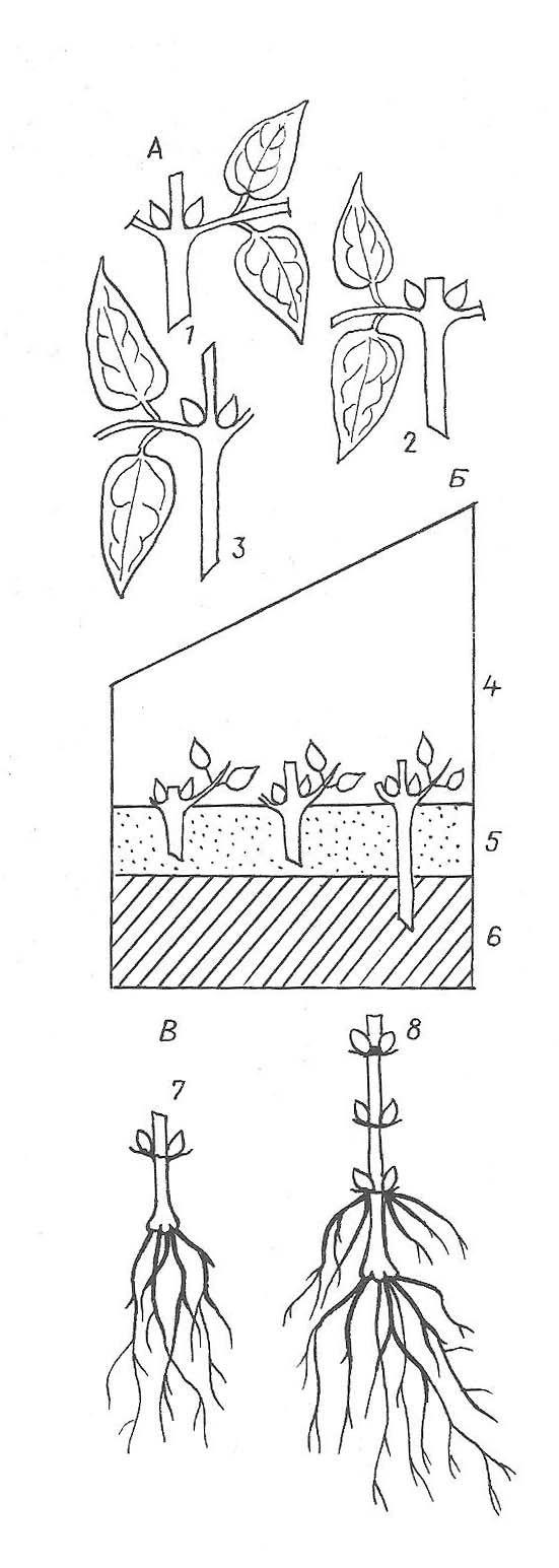 Клематисы – посадка и уход в открытом грунте, способы размножения и секреты пышного цветения