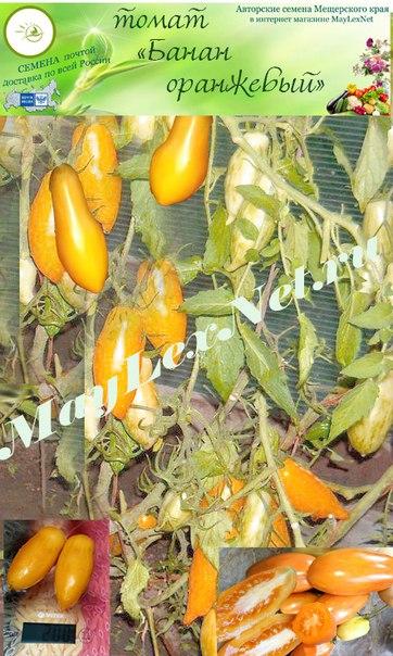 Томат оранжевый гигант: отзывы, описание сорта, фото, характеристика