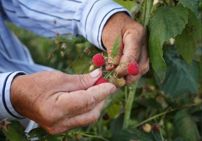 Уход за малиной летом: как ухаживать за кустами в июне, июле и августе (во время плодоношения и после сбора урожая), советы бывалых садоводов