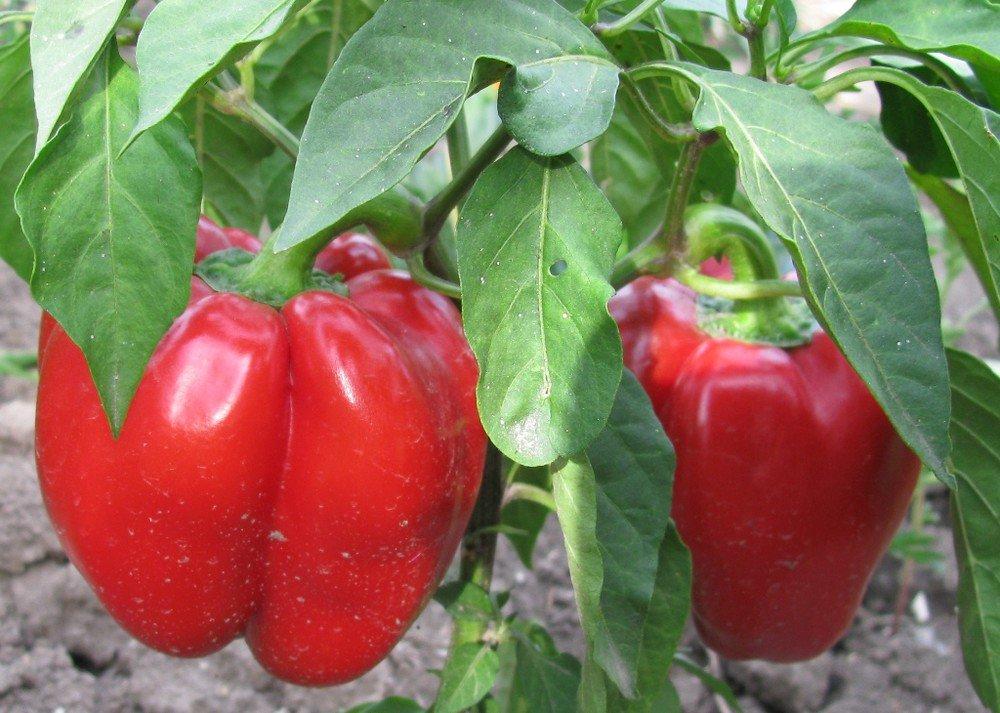 Толстостенные мясистые сорта перцев для теплиц и открытого грунта: новинки 2021 |