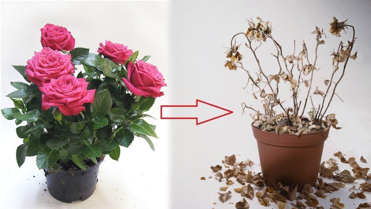 10 секретов выращивания комнатных роз. освещение, выбор места, уход в домашних условиях. фото — ботаничка.ru