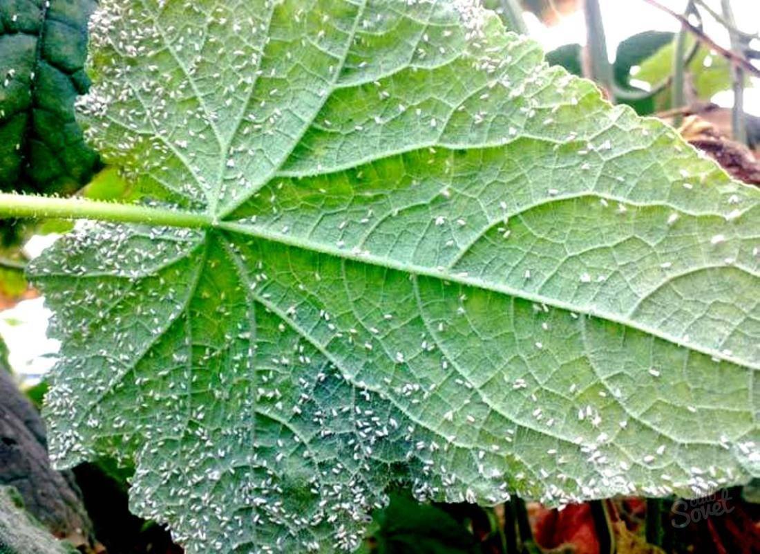 Как избавиться и бороться с белокрылкой на томатах в теплице