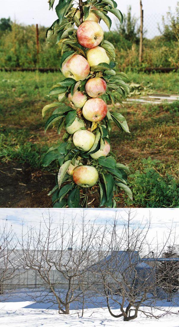 Яблоня не плодоносит: что делать и почему не цветет
