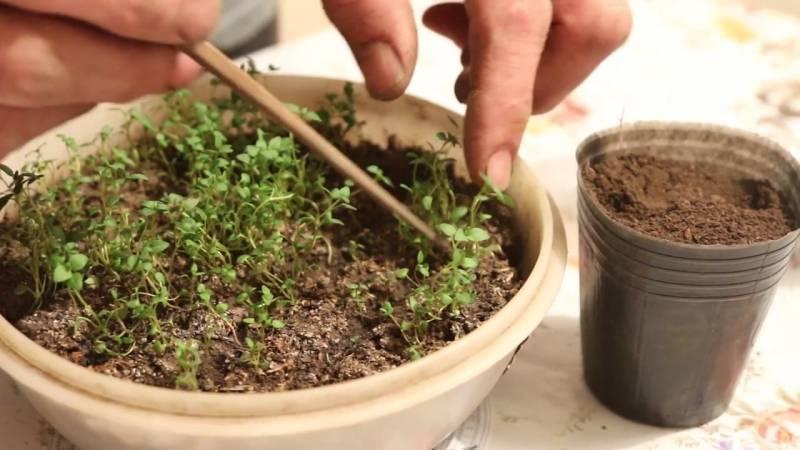 Тимьян: посадка и уход в открытом грунте, когда сажать, личный опыт выращивания