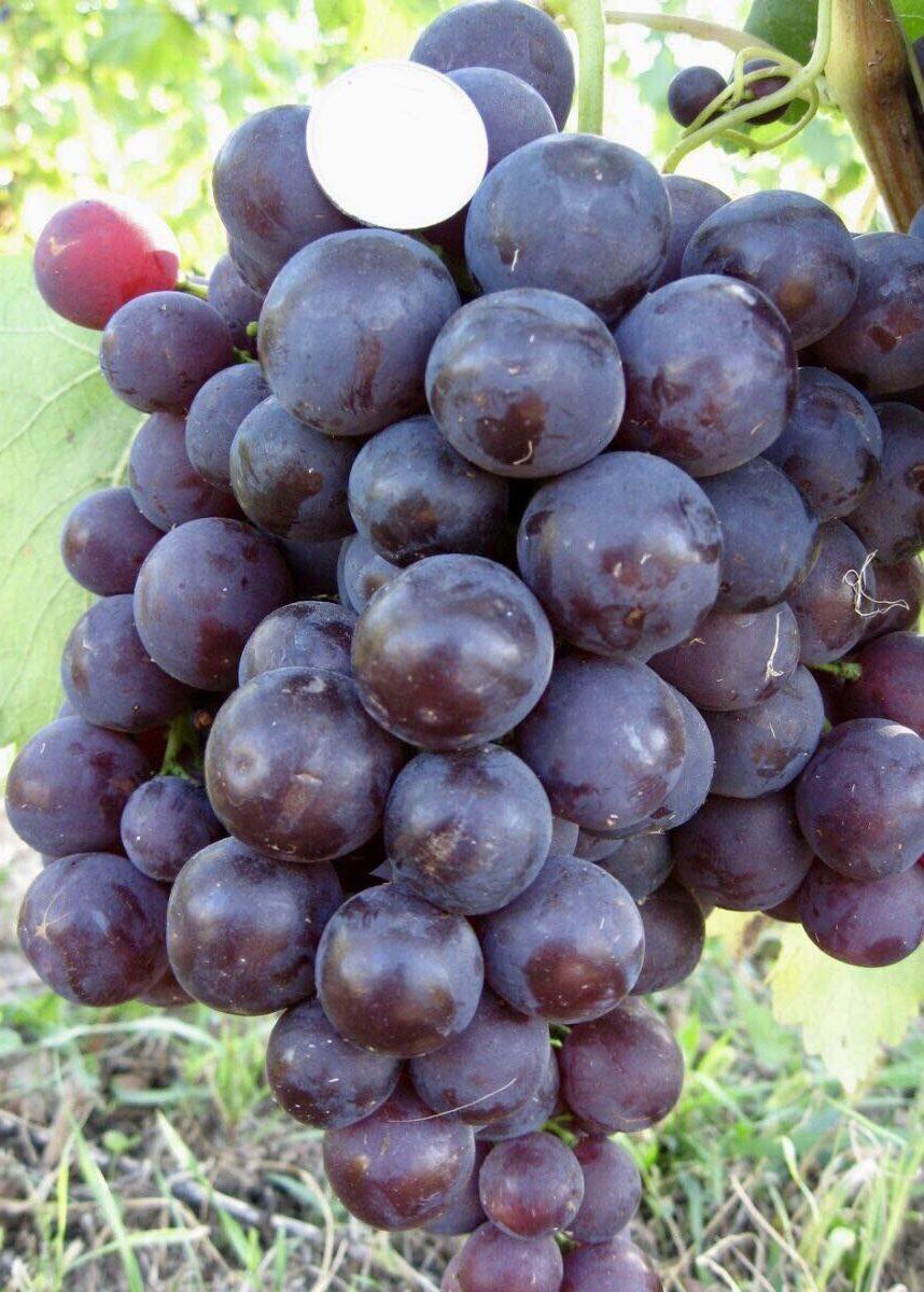 Описание винограда сорта Рошфор, особенности посадки и ухода