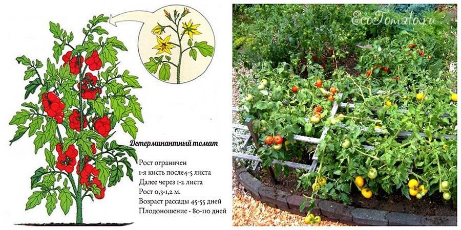 Сорта томатов штамбовые: лучшие виды для открытого грунта, для теплиц и универсальных методов агротехники