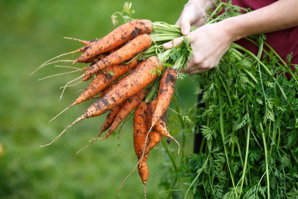 Морковь: сорта для подзимнего посева на supersadovnik.ru