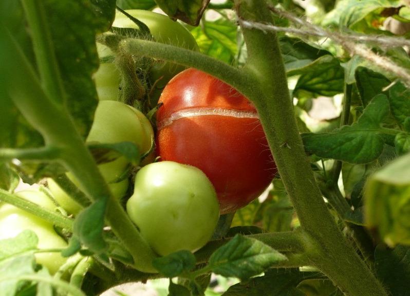 Трескаются помидоры на кусту при созревании в открытом грунте