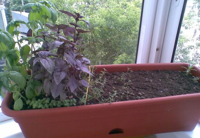 Как вырастить базилик дома на подоконнике в горшке: из семян и черенков