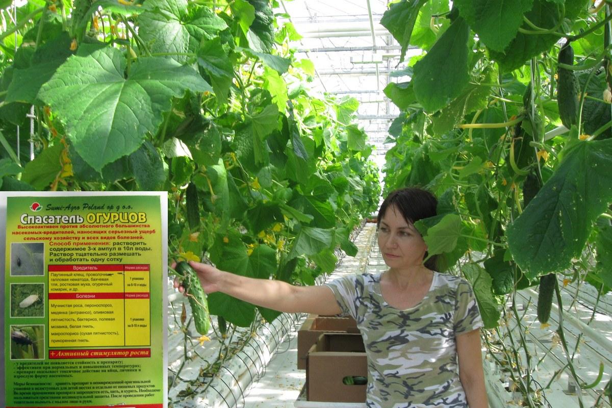 Актара для огурцов: эффективность защиты, особенности инсектицида, как развести и обработать растение
