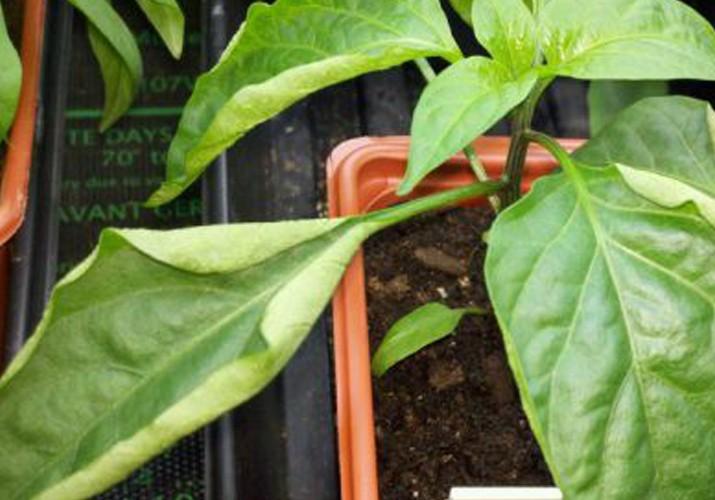 Почему у рассады перца скручиваются листья, почему, что делать, фото