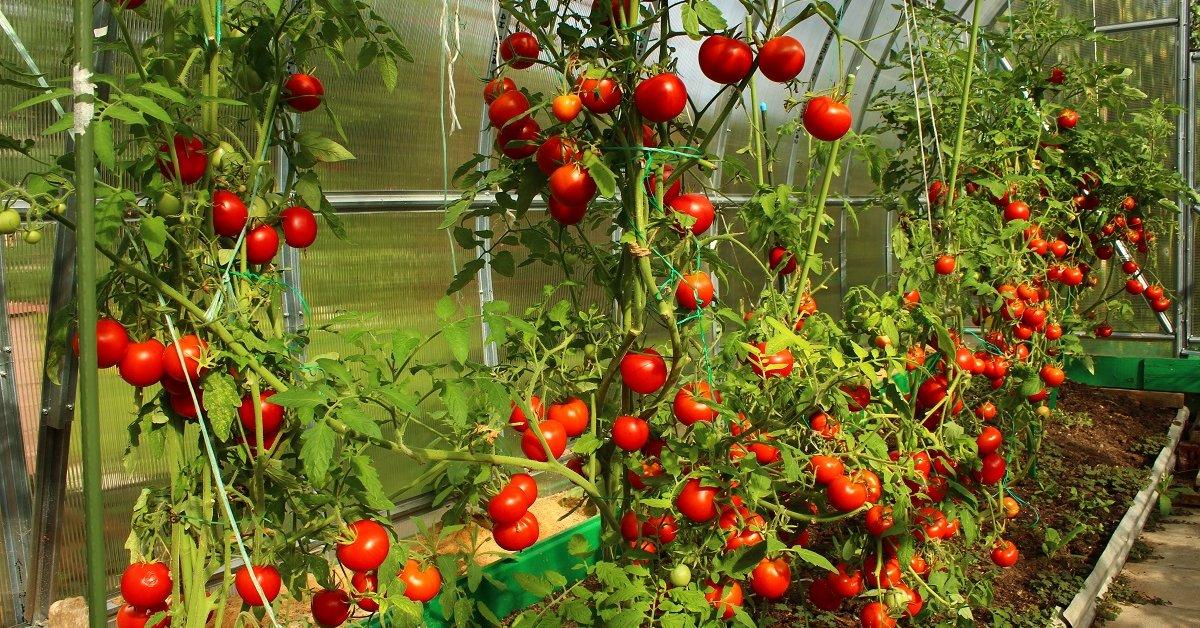 Секреты выращивания помидоров на даче